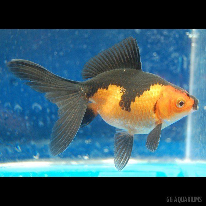 Orange-black Calico