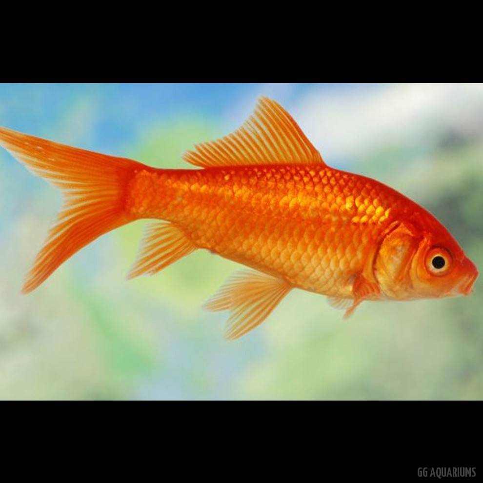 Orange Goldfish
