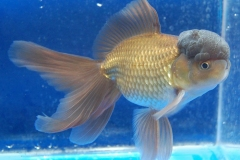 GG Ornamental Fish